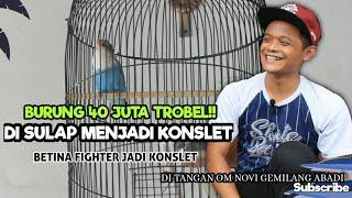 Download lagu Jejak Betina Konslet   Lovebird Betina Fighter 40 Juta Kini DISULAP MENJADI KONSLET