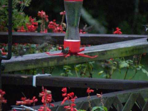 Hummingbirds in NJ