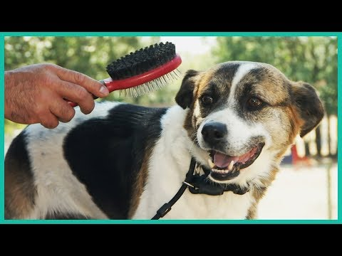 Cesar Millan Shows How To Prevent Dogs from Biting While Brushing