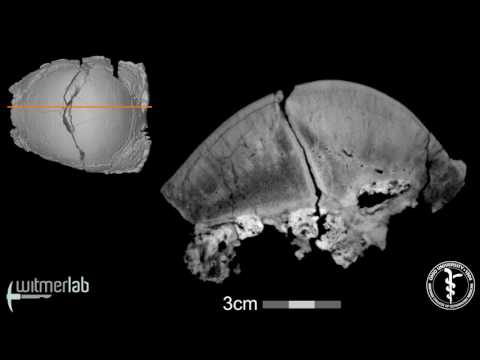 Visible Interactive Pachycephalosaur - Sphaerotholus - sagittal slice