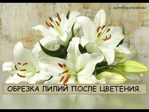 Как правильно обрезать лилию после цветения.