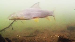 River Lea Underwater Roach, Dace, Perch, Ruffe & Barbel! Mp3