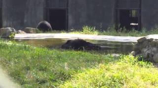 Special bears: Vandrew blowing bubbles (at Animals Asia's Vietnam Bear Sanctuary)