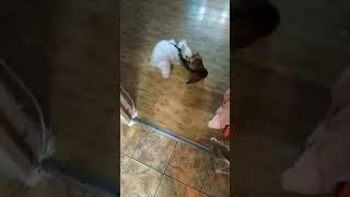 Игры бенгальская кошка с щенком мальтийской болонк