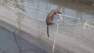 Норка на садковом  рыбхозе, зло или польза?! Норка ворует карпа с садков