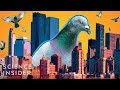 Why Cities Have So Many Pigeons