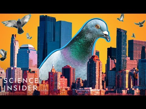 Maddox - Why Do Cities Have So Many Pigeons?
