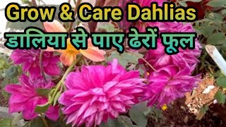All about DAHLIAS // How to grow and care a beautiful flower DAHLIA in (Hindi and Urdu)