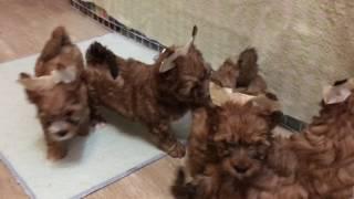Щенки Русской Салонной собаки на продажу