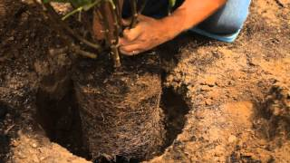 How Deep to Plant Lilac Bushes : Garden Savvy