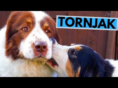 Tornjak Dog Breed - Facts and Information