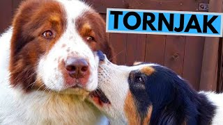 Tornjak Dog Breed  Facts and Information
