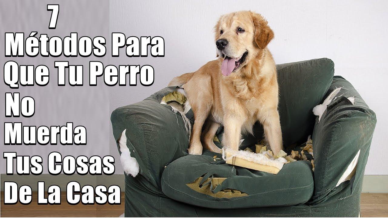 Mi Perro Muerde Todo Que Hago 7 Métodos De Solución Muebles Objetos Zapatos Youtube
