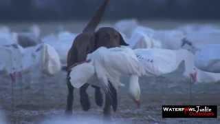 Snow Goose Hunting  2015 AR,MO,SD