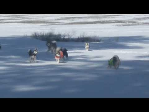 Last snow day for Alaskan Klee Kai