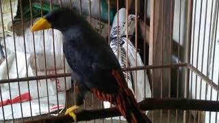 Download Terbukti ampuh!!!! Masteran Burung Jalak Rio  istimewa bikin gacor ngeplong!!! Mp3