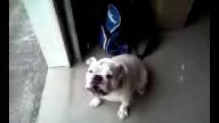 M.... F... Ugly English Bulldog