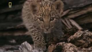 Леопарды   Охота хищных Животных Документальный фильм HD