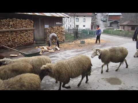 Rural Bulgaria - herd of sheep in the streets of Dobarsko village