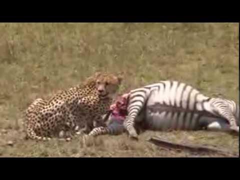 Honey's Boys make their first kill of a zebra in the Masai Mara
