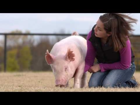 Purina® Feed Greatness™ Challenge | Show Pigs - YouTube