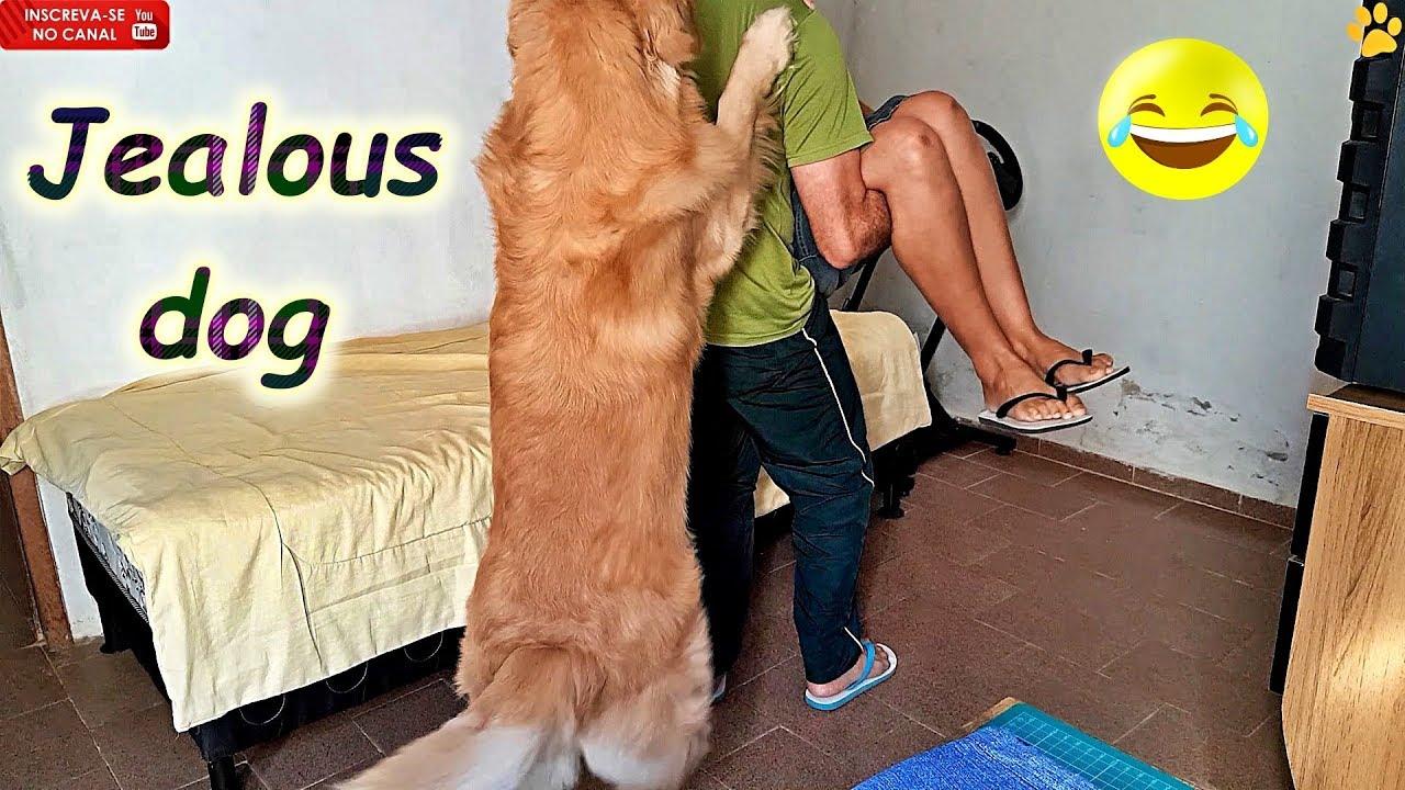 Download Golden ciumento..defendendo papai..kkkk Jealous dog!!! #simão #goldenretriever