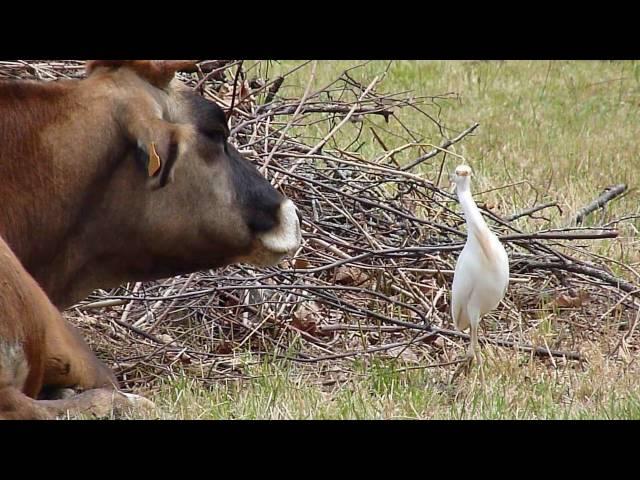 Garcillas bueyeras / Cattle egrets