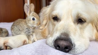 Cute Baby Bunnies think the Golden Retriever is their Mother