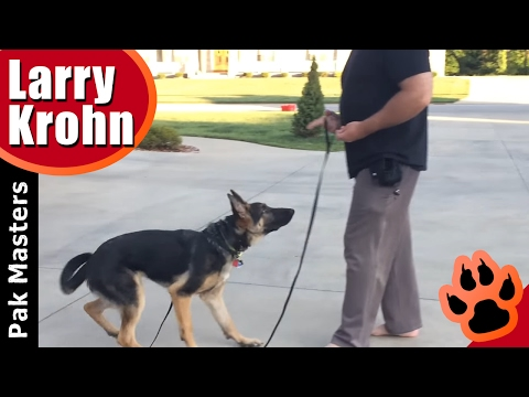 Puppy obedience with Maverick the German Shepherd puppy / Week two of e collar training