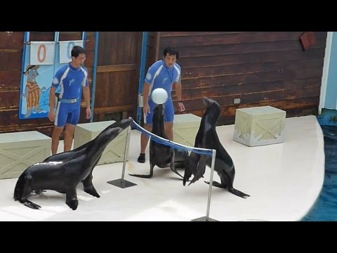 Sea Lions Playing Volleyball | AMAZING!!!
