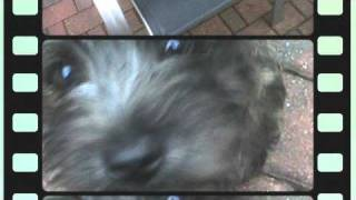 Cairn Terrier Reggie As A Puppy