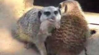 brand new baby meerkat! -