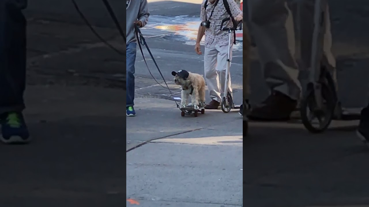 f7a7ba293eb1b Animalsdt dog on skateboard with yankees baseball hat - YouTube