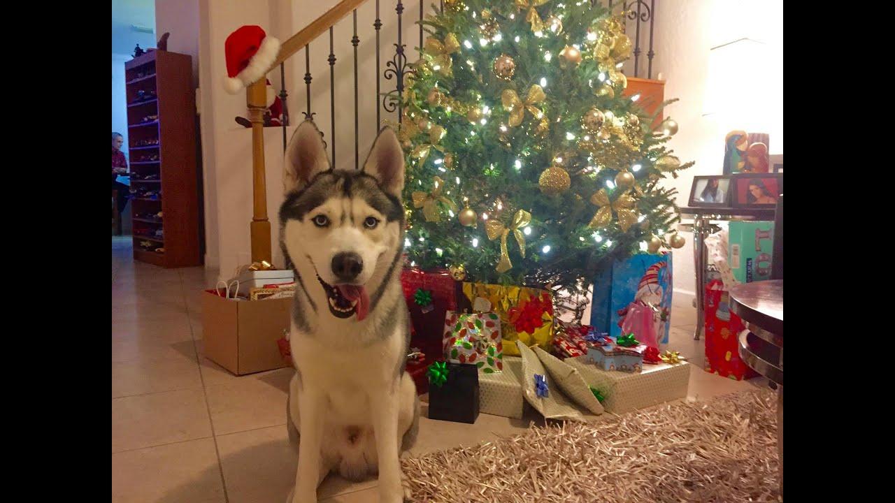 Husky on Christmas! (Opening Gifts)