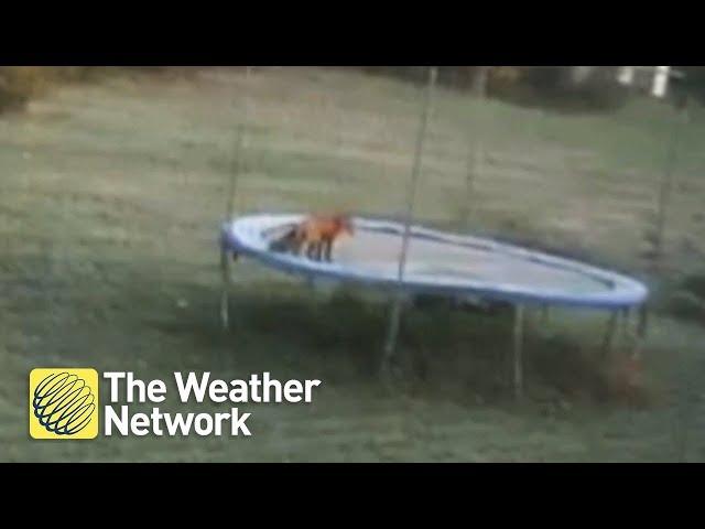 Woman finds fox jumping on backyard trampoline