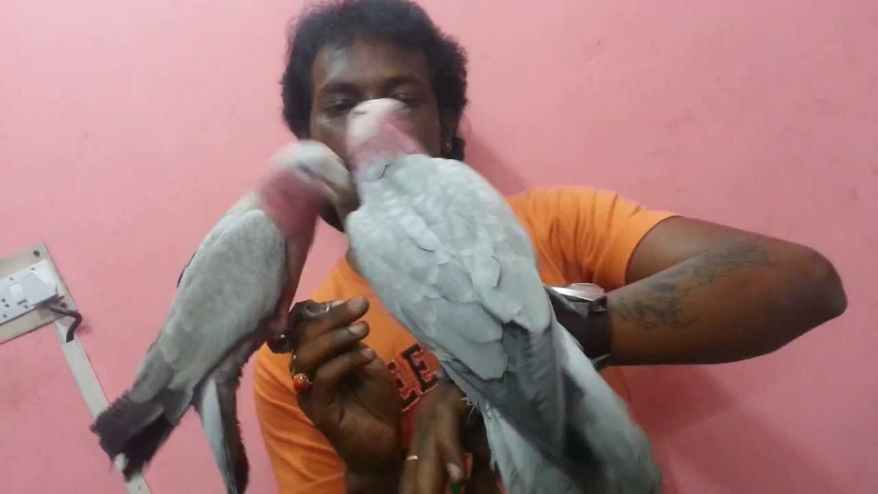 Tamed Galah Cockatoo in (Preethi Farms)