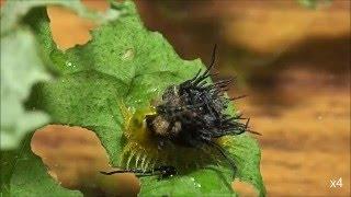 イチモンジカメノコハムシ 幼虫