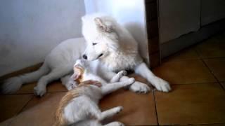 Самоед - самая дружелюбная и добрая собака!!!