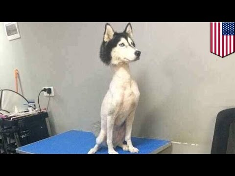 Download Youtube: Shaved husky: mysterious viral photo of shaved husky sends Twitter into a frenzy - TomoNews