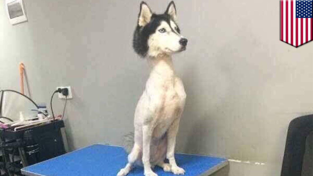 Shaved Husky Mysterious Viral Photo Of Shaved Husky Sends Twitter