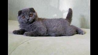 Вислоухая голубая кошечка