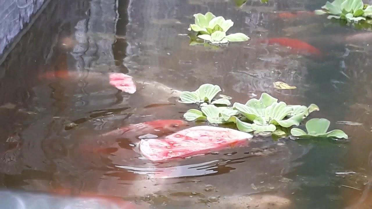 Ikan Koi Cepat Besar Pakan Semangka Youtube