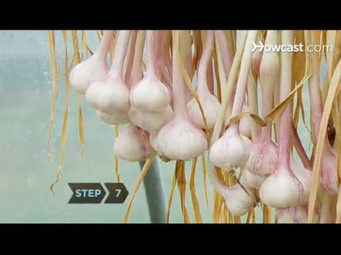 how to grow garlic indoors youtube. Black Bedroom Furniture Sets. Home Design Ideas