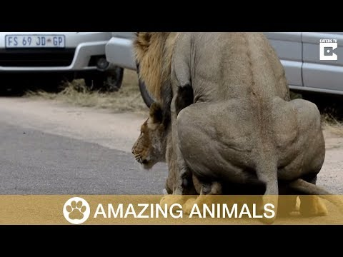 Mating Lions Cause Traffic Jam