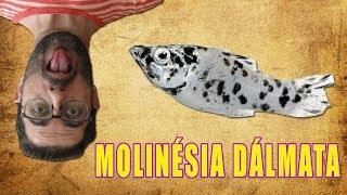 كيفية بناء الأسماك Molinésia الحيوان في خزان الأسماك
