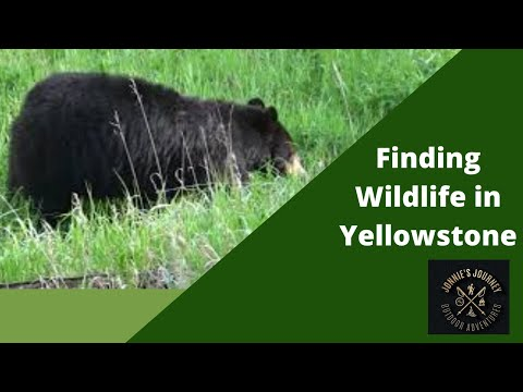 Where to Find Wildlife in Yellowstone.