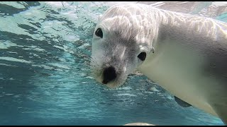 Swim with the Sealions - 17th January 2021 - video 3