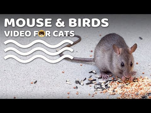 Video For Cats - Mouse And Birds! CAT & DOG TV.