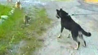 Кошка защищает собачку от собаки - The cat protects a dog from a dog