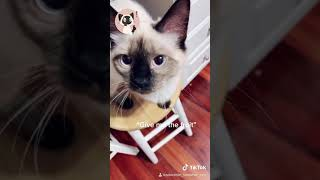 Cutest Adorable Siamese Cats TikTok Compilation Number 1